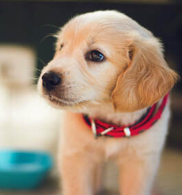 Puppy with red collar