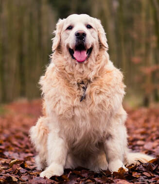 Golden retriever sitting on autumn leaves
