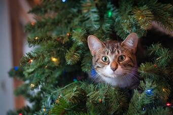 Tabby cat sitting in a Christmas tree and looking toward camera