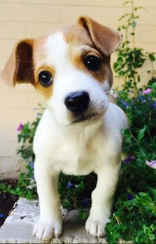 White and tan puppy standing next to green plant and looking toward camera