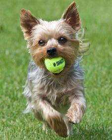 Small brown dog running on grass with tennis ball in mouth